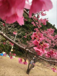 amami 緋寒桜